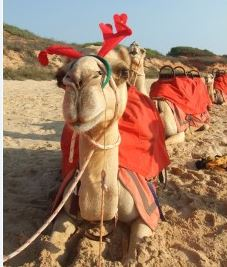 christmas camel pictures