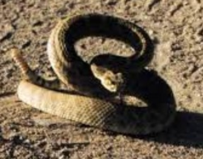 THE FORMATIVE RATTLESNAKE
